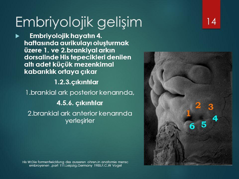 Embriyolojik gelişim  Embriyolojik hayatın 4.haftasında aurikulayı oluşturmak üzere 1.