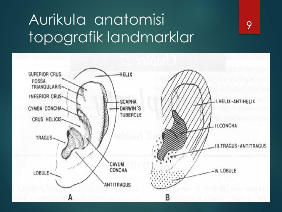 9 Aurikula anatomisi topografik landmarklar