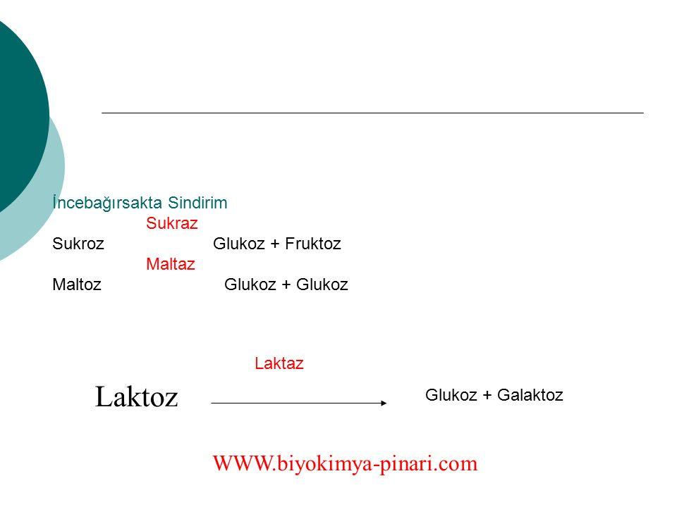 İncebağırsakta Sindirim Sukraz Sukroz Glukoz + Fruktoz Maltaz Maltoz Glukoz + Glukoz Laktoz WWW.biyokimya-pinari.com Glukoz + Galaktoz Laktaz