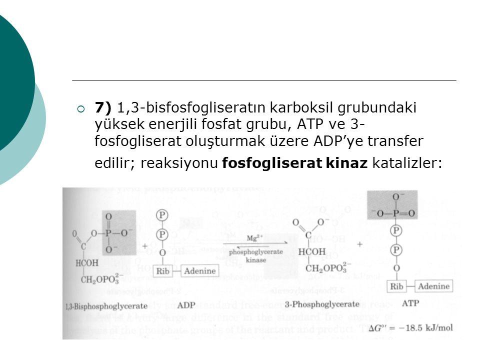  7) 1,3-bisfosfogliseratın karboksil grubundaki yüksek enerjili fosfat grubu, ATP ve 3- fosfogliserat oluşturmak üzere ADP'ye transfer edilir; reaksi