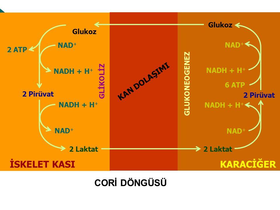 KAN DOLAŞIMI İSKELET KASI GLİKOLİZ GLUKONEOGENEZ Glukoz 2 Pirüvat 2 Laktat Glukoz 2 Pirüvat 2 Laktat KARACİĞER NADH + H + NAD + NADH + H + NAD + NADH