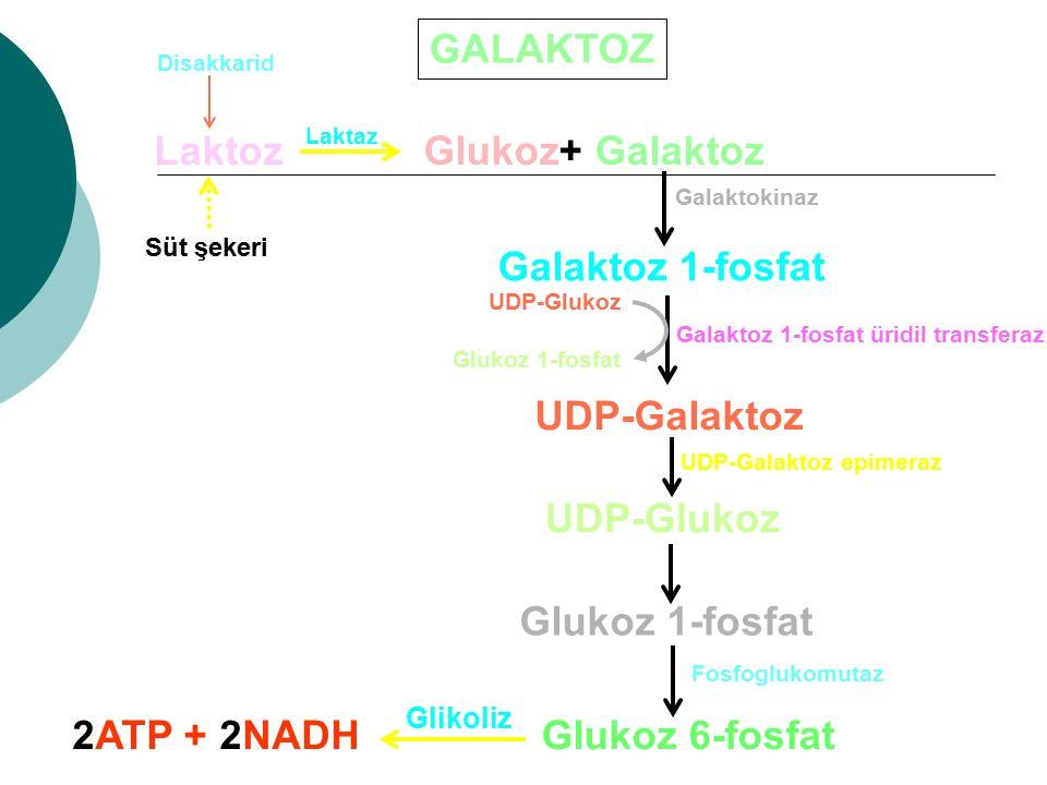 GALAKTOZ Laktoz Laktaz Glukoz+ Galaktoz Süt şekeri Disakkarid Galaktokinaz Galaktoz 1-fosfat Galaktoz 1-fosfat üridil transferaz UDP-Glukoz Glukoz 1-f