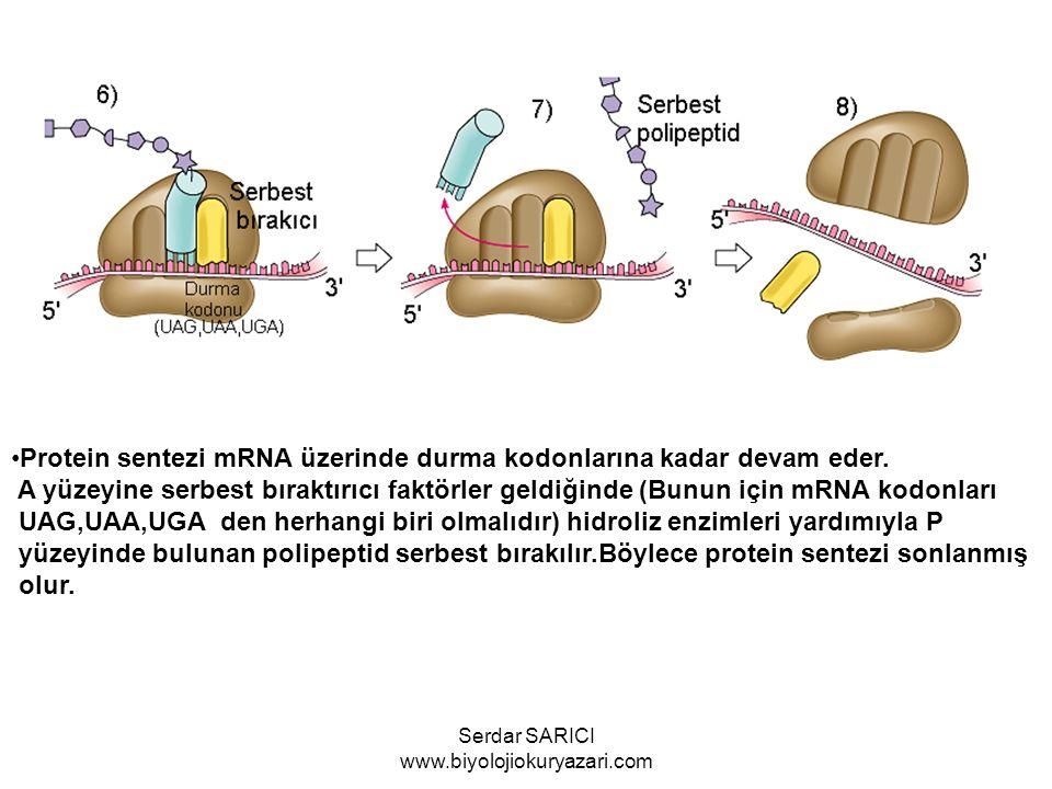 Protein sentezi mRNA üzerinde durma kodonlarına kadar devam eder. A yüzeyine serbest bıraktırıcı faktörler geldiğinde (Bunun için mRNA kodonları UAG,U