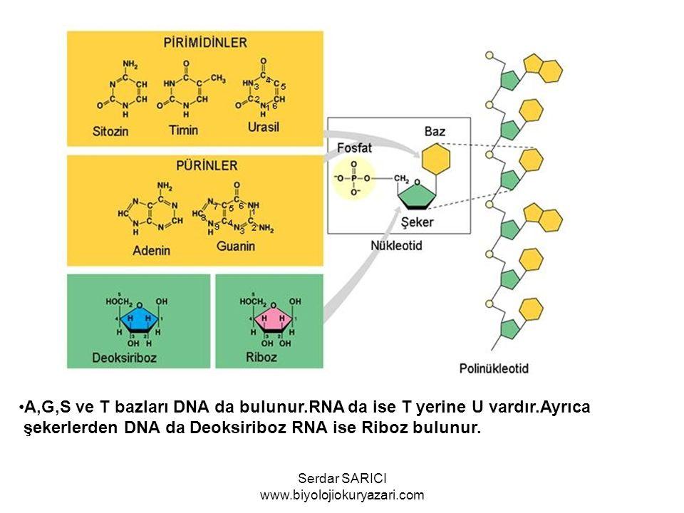 A,G,S ve T bazları DNA da bulunur.RNA da ise T yerine U vardır.Ayrıca şekerlerden DNA da Deoksiriboz RNA ise Riboz bulunur. Serdar SARICI www.biyoloji