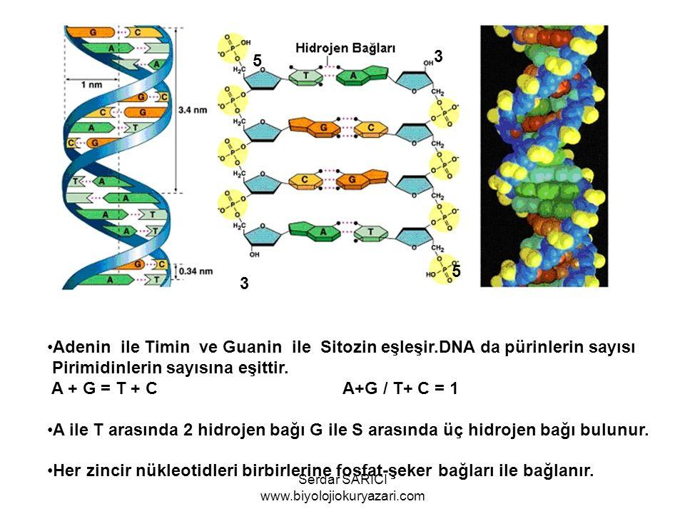 3 5 3 5 Adenin ile Timin ve Guanin ile Sitozin eşleşir.DNA da pürinlerin sayısı Pirimidinlerin sayısına eşittir. A + G = T + C A+G / T+ C = 1 A ile T