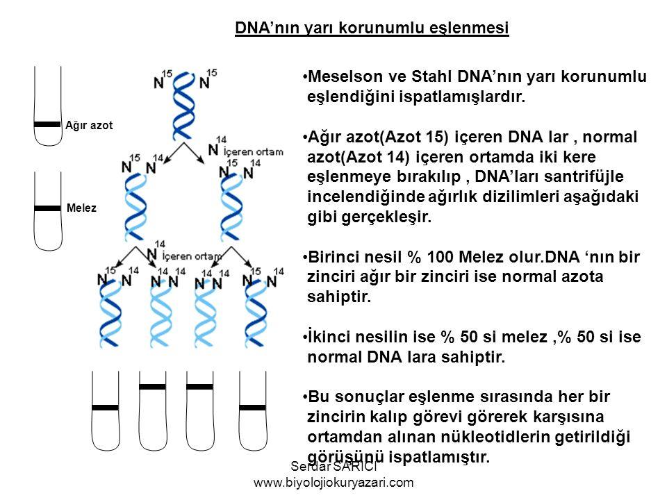 DNA'nın yarı korunumlu eşlenmesi Meselson ve Stahl DNA'nın yarı korunumlu eşlendiğini ispatlamışlardır. Ağır azot(Azot 15) içeren DNA lar, normal azot