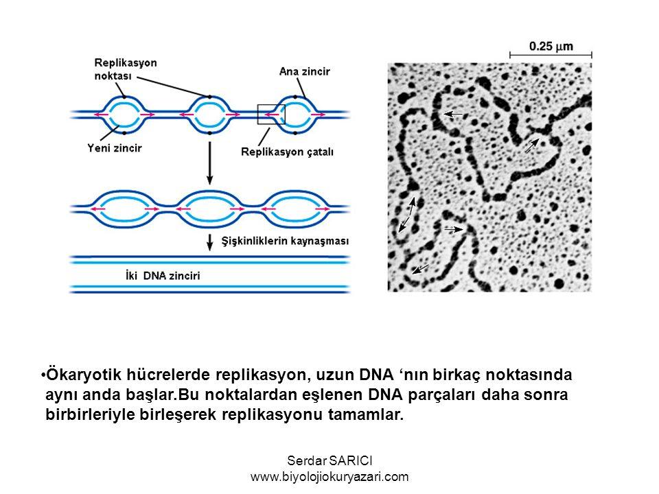 Replikasyon çatalında yeni zincirlerden biri 5'  3' yönünde kesintisiz bir biçimde replike edilir.Diğer oluşan yeni zincir ise replikasyon çatılından uzaklaşacak biçimde kesintili olarak replike edilir.Bu kesintili küçük parçalara okazaki parçaları adı verilir.Ökaryotlarda 100- 200 arası olan bu parçalar DNA ligaz enzimi yardımıyla şeker fosfat bağlarıyla birleştirilir Serdar SARICI www.biyolojiokuryazari.com