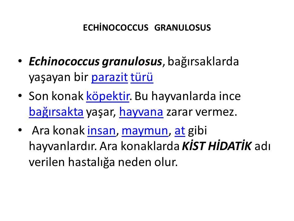 ECHİNOCOCCUS GRANULOSUS Echinococcus granulosus, bağırsaklarda yaşayan bir parazit türüparazittürü Son konak köpektir. Bu hayvanlarda ince bağırsakta