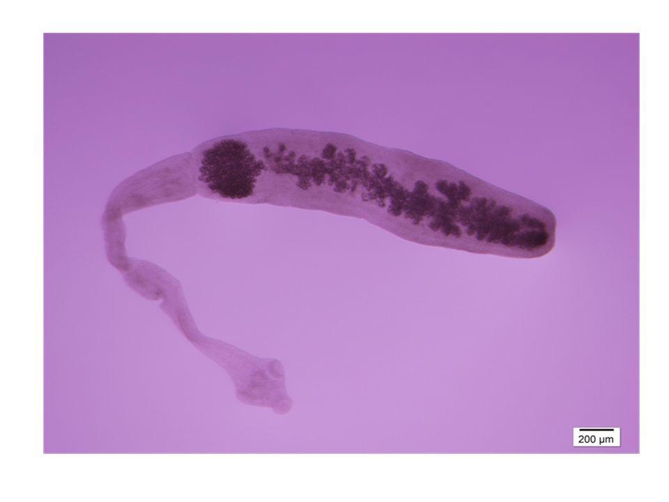 Echinococcus multilocularis profile photo