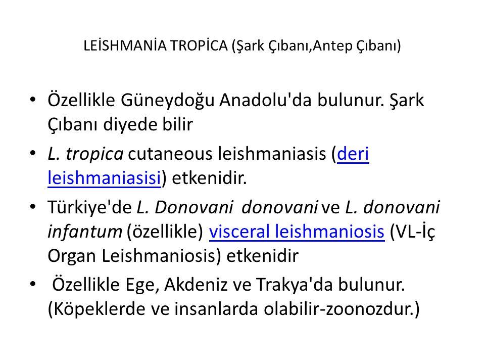 LEİSHMANİA TROPİCA (Şark Çıbanı,Antep Çıbanı) Özellikle Güneydoğu Anadolu'da bulunur. Şark Çıbanı diyede bilir L. tropica cutaneous leishmaniasis (der