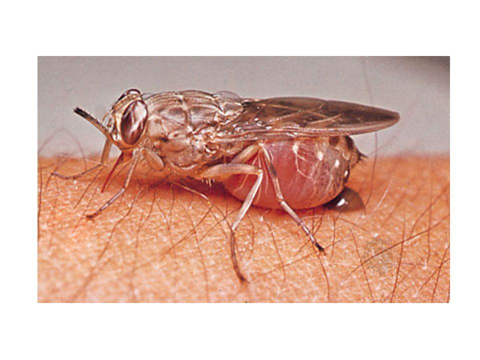TRYPANOSOMA GAMBİENSE (uyku hastalığı) parazit kan yolu ile beyne ulaşır ve bu bölgede iltihaplanmaya yol açar.
