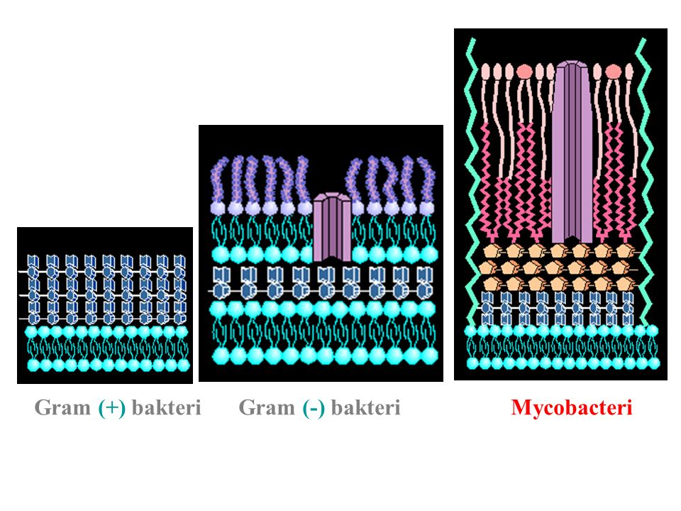 Gram (+) bakteriGram (-) bakteriMycobacteri