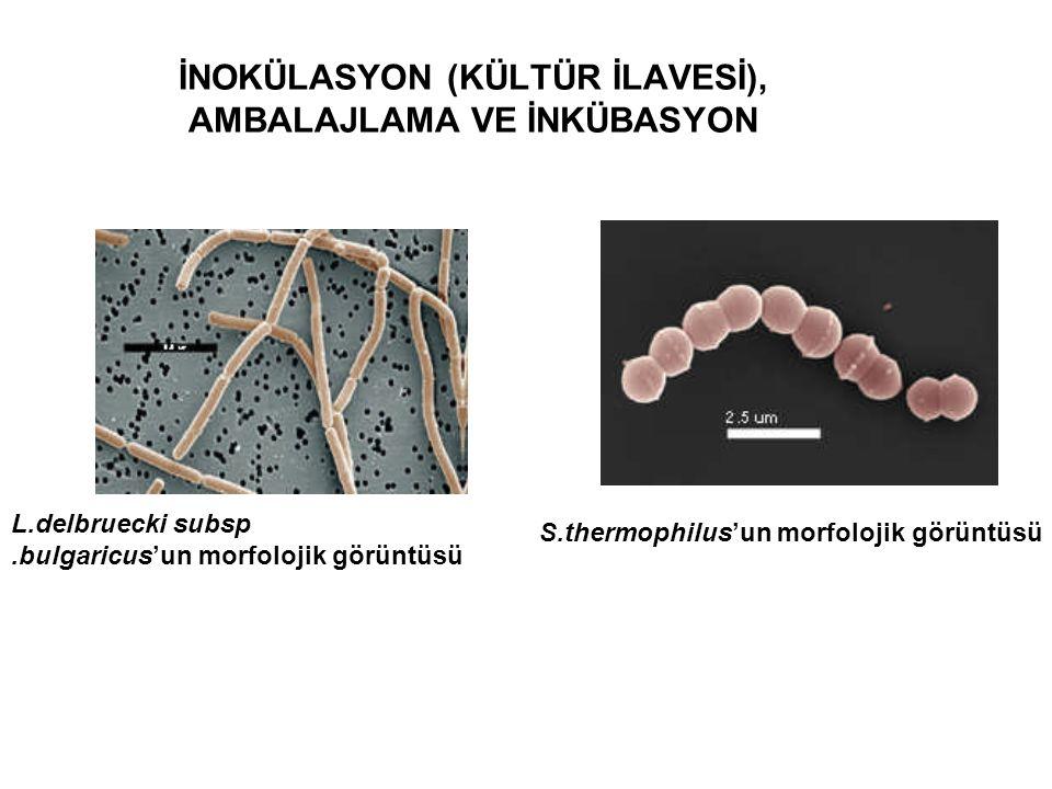 İNOKÜLASYON (KÜLTÜR İLAVESİ), AMBALAJLAMA VE İNKÜBASYON L.delbruecki subsp.bulgaricus'un morfolojik görüntüsü S.thermophilus'un morfolojik görüntüsü