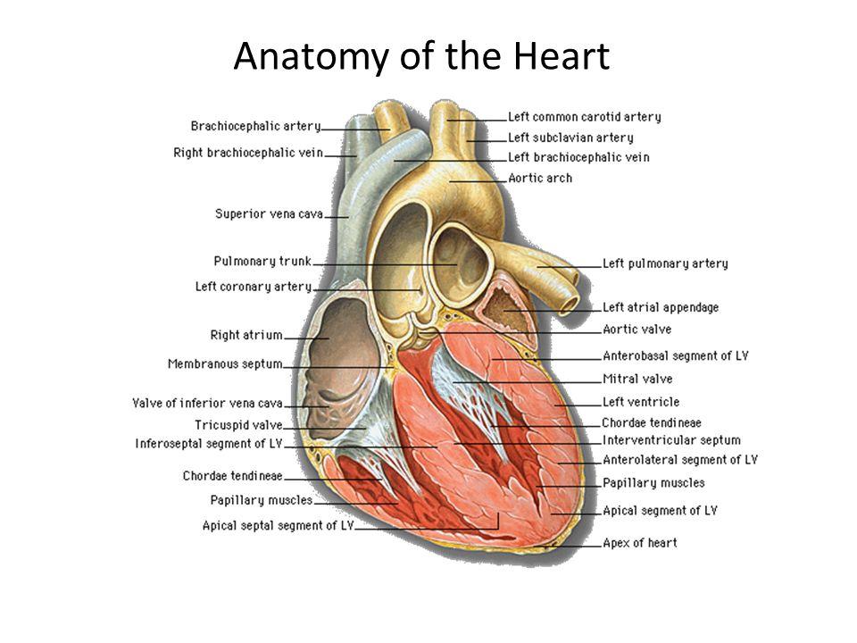 Kalp Kalp 3 tabaka: içeriden dışarı doğru 1.endokard- 2.