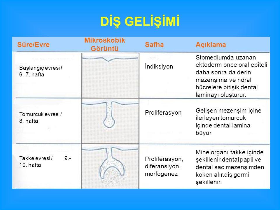 Süre/Evre Mikroskobik Görüntü SafhaAçıklama Çan evresi / 11.-12.