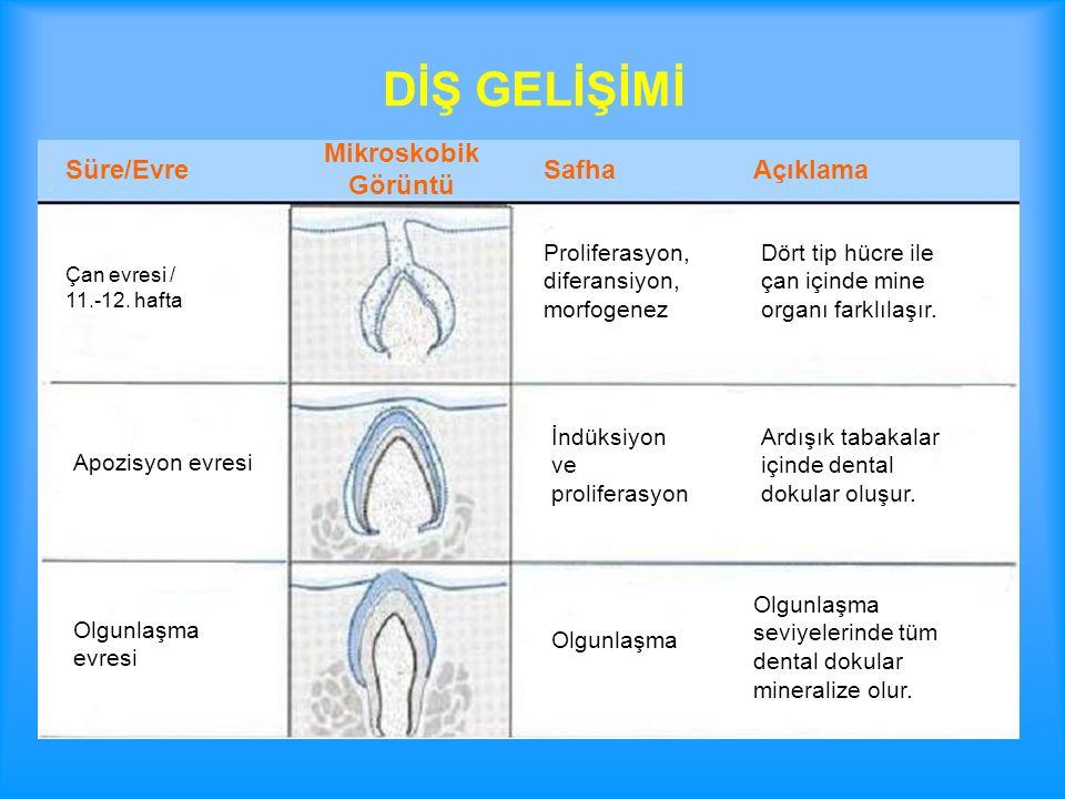 Sürme sırasında dişeti mukozasında bir hiperemi, onu izleyen dönemde hücrelerde vakuolizasyonlar ve sonrada hücre parçalanmaları olur.