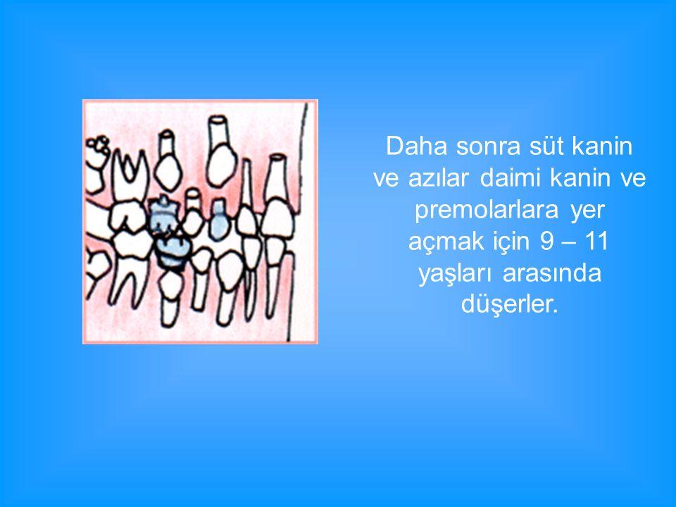 Daha sonra süt kanin ve azılar daimi kanin ve premolarlara yer açmak için 9 – 11 yaşları arasında düşerler.