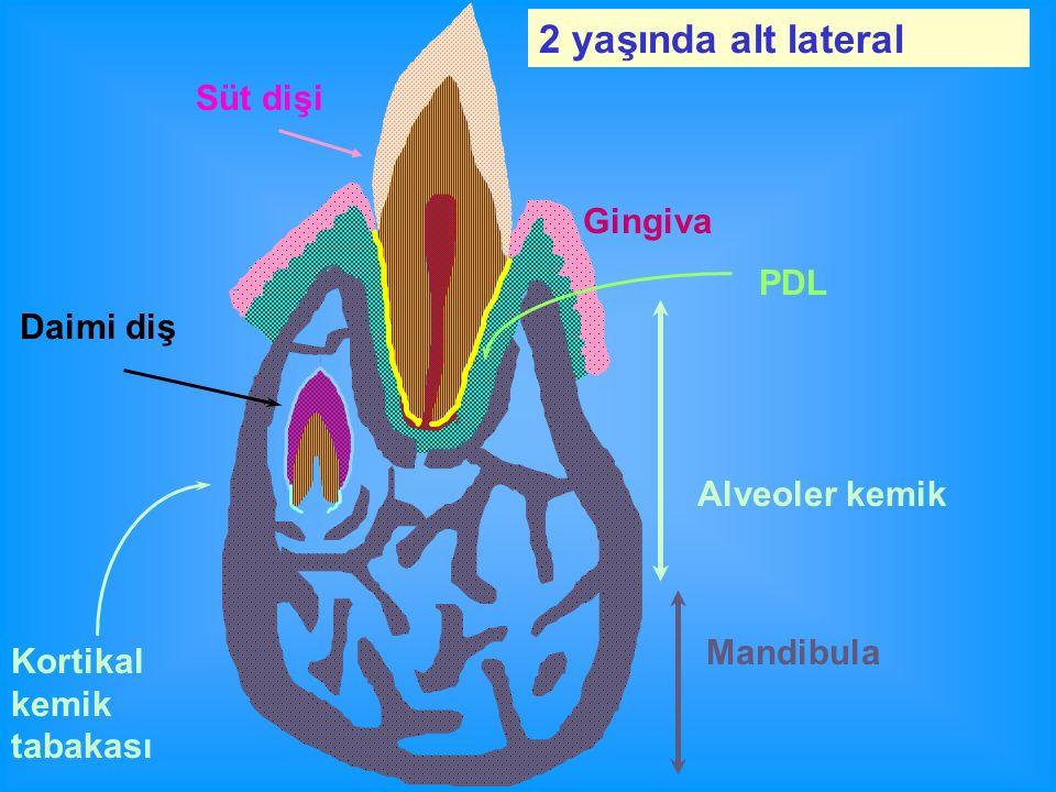 Süt dişi Gingiva Kortikal kemik tabakası Mandibula Alveoler kemik PDL Daimi diş 2 yaşında alt lateral