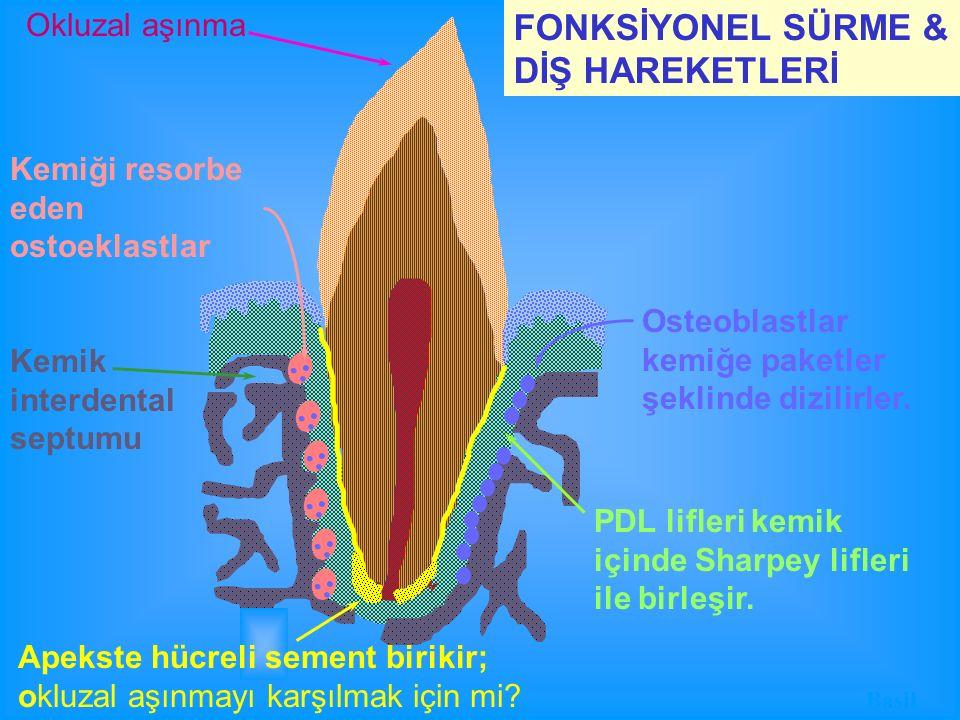 Kemiği resorbe eden ostoeklastlar PDL lifleri kemik içinde Sharpey lifleri ile birleşir. FONKSİYONEL SÜRME & DİŞ HAREKETLERİ Osteoblastlar kemiğe pake