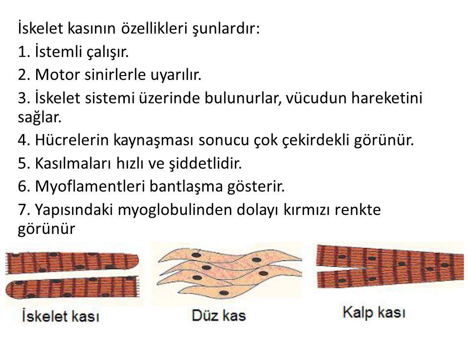 İskelet kasının özellikleri şunlardır: 1.İstemli çalışır.