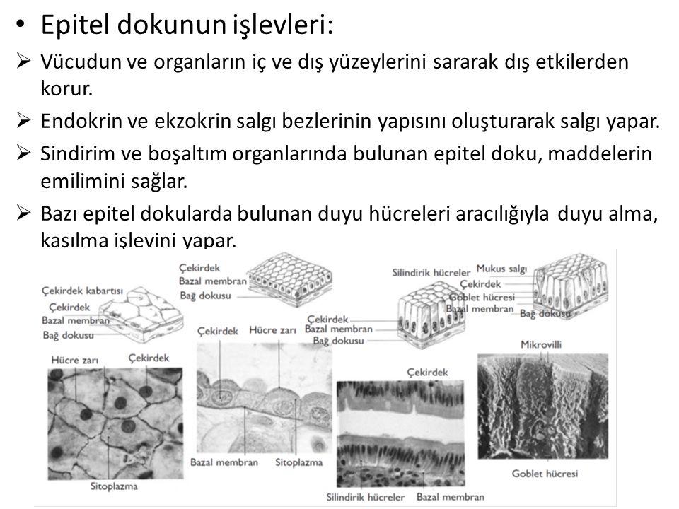 Nöronlar fonksiyonlarına göre;  Duyu nöronları(afferent nöronlar):Reseptörler ile merkezi sinir sistemi arasında  Motor (efferent nöronlar): Merkezi sinir sistemi ile effektör organ arasında  İnternöronlar (ara nöronlar):Merkezi sinir sistemi içerisinde duyu nöronu ile motor nöron arasında Aksiyon potansiyeli: Hücre zarının içerisinin dışa oranla daha negatif olduğu dinlenim durumundaki bir hücre, herhangi bir uyaran ile uyarıldığı zaman; zarın dinlenim potansiyeli milisaniyeler içerisinde değişerek pozitif bir değere ulaşmaktadır.