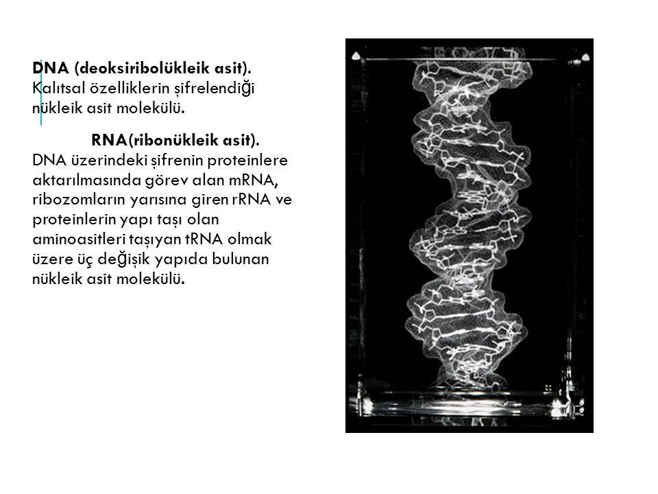 DNA (deoksiribolükleik asit). Kalıtsal özelliklerin şifrelendi ğ i nükleik asit molekülü. RNA(ribonükleik asit). DNA üzerindeki şifrenin proteinlere a