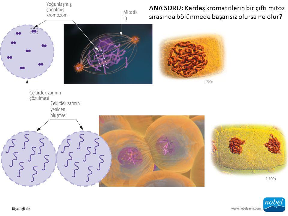 ANA SORU: Kardeş kromatitlerin bir çifti mitoz sırasında bölünmede başarısız olursa ne olur?