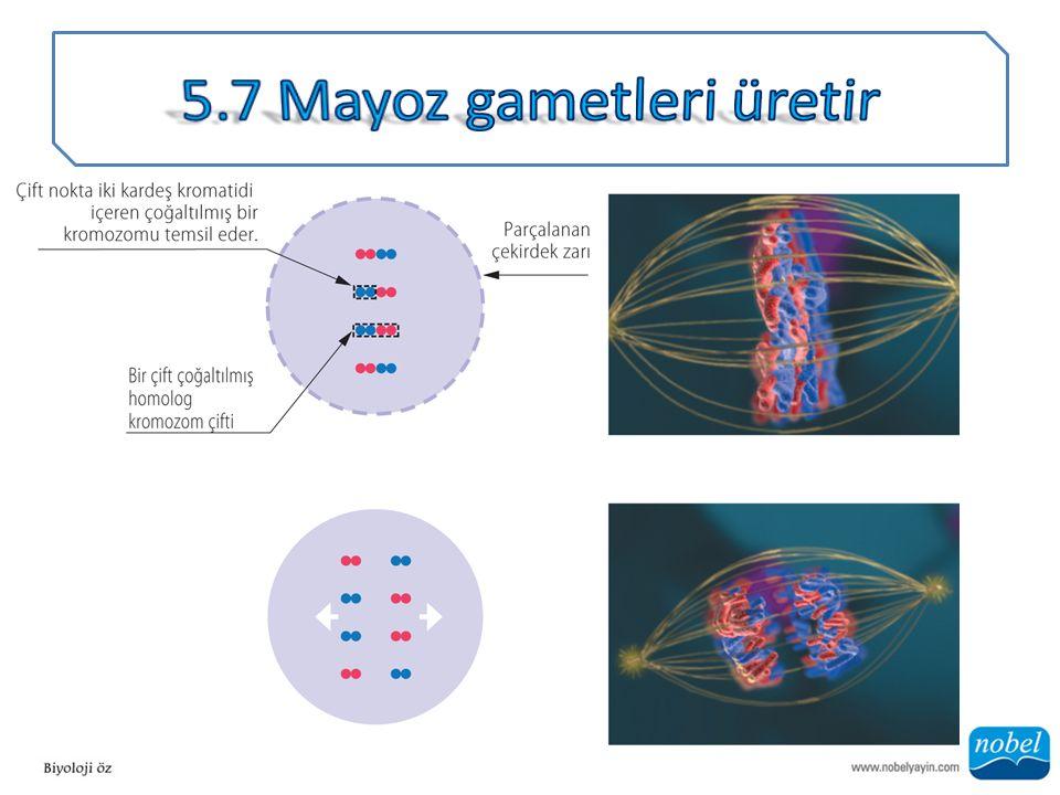ANA SORU: Kromozomların düzenlenmesi açısından mayoz I'in önemi nedir?