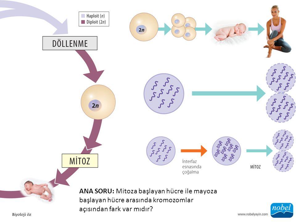 ANA SORU: Mitoza başlayan hücre ile mayoza başlayan hücre arasında kromozomlar açısından fark var mıdır?