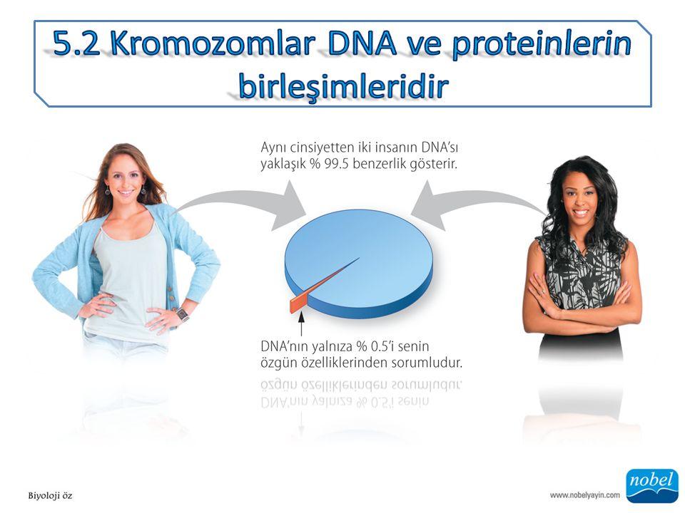 ANA SORU: Her bir vücut hücre çekirdeğinde kaç tane birbirinden ayrı DNA parçası bulunur?