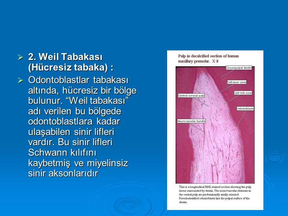 """ 2. Weil Tabakası (Hücresiz tabaka) :  Odontoblastlar tabakası altında, hücresiz bir bölge bulunur. """"Weil tabakası"""" adı verilen bu bölgede odontobla"""