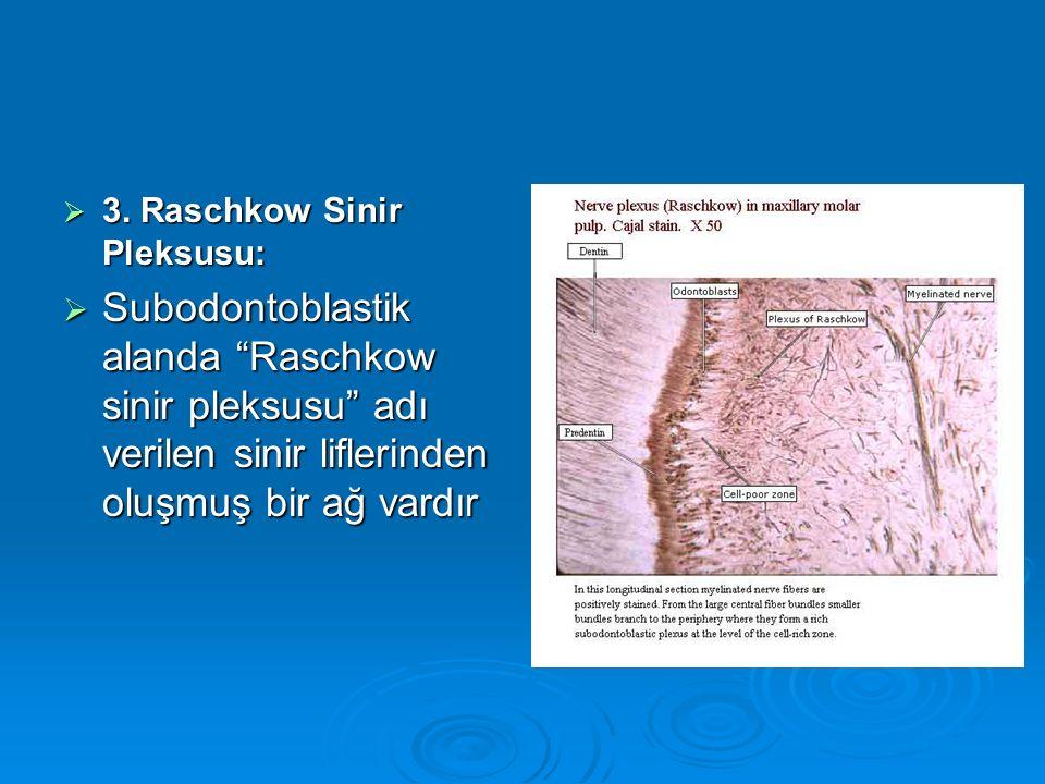 """ 3. Raschkow Sinir Pleksusu:  Subodontoblastik alanda """"Raschkow sinir pleksusu"""" adı verilen sinir liflerinden oluşmuş bir ağ vardır"""