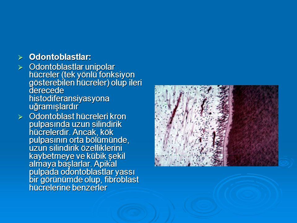  Odontoblastlar:  Odontoblastlar unipolar hücreler (tek yönlü fonksiyon gösterebilen hücreler) olup ileri derecede histodiferansiyasyona uğramışlard