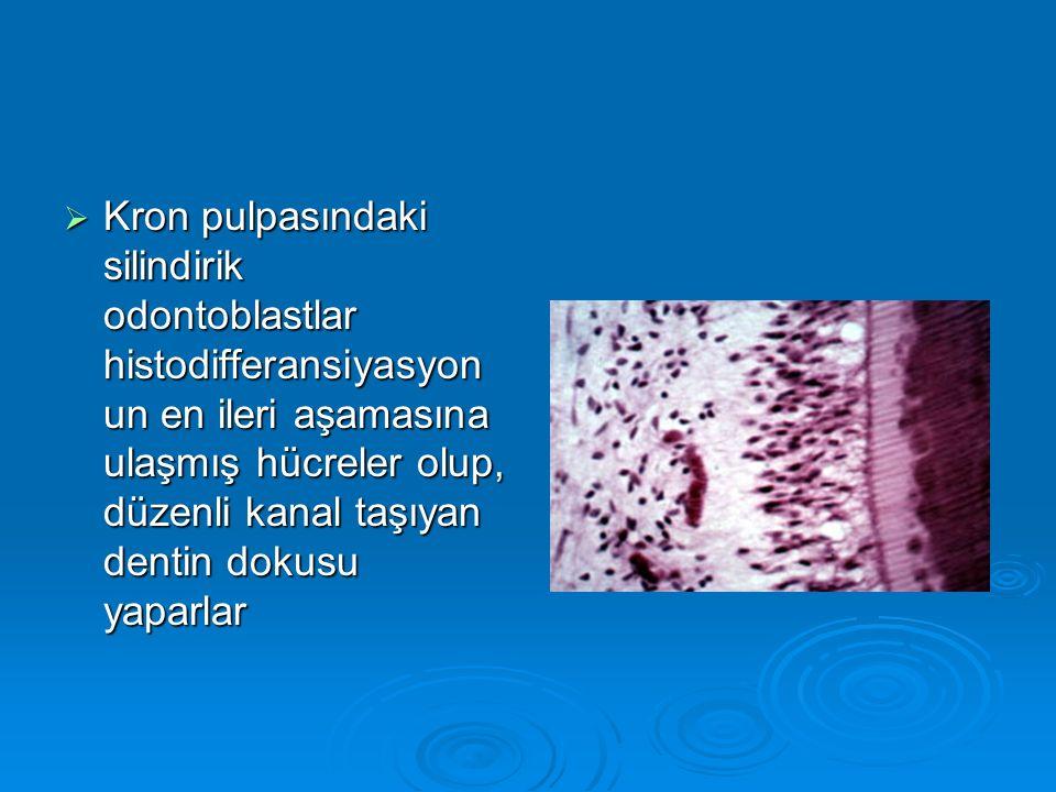  Kron pulpasındaki silindirik odontoblastlar histodifferansiyasyon un en ileri aşamasına ulaşmış hücreler olup, düzenli kanal taşıyan dentin dokusu y