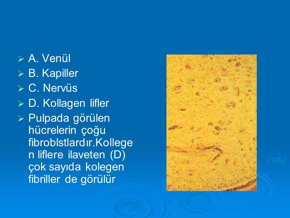  A. Venül   B. Kapiller   C. Nervüs   D. Kollagen lifler   Pulpada görülen hücrelerin çoğu fibroblstlardır.Kollege n liflere ilaveten (D) ç