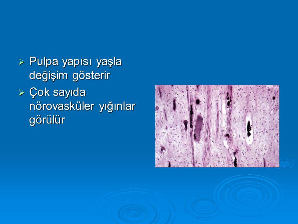  Pulpa yapısı yaşla değişim gösterir  Çok sayıda nörovasküler yığınlar görülür