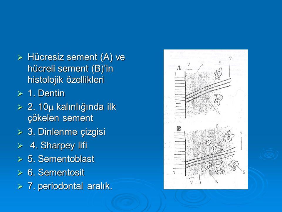  Hücresiz sement (A) ve hücreli sement (B)'in histolojik özellikleri  1. Dentin  2. 10  kalınlığında ilk çökelen sement  3. Dinlenme çizgisi  4.