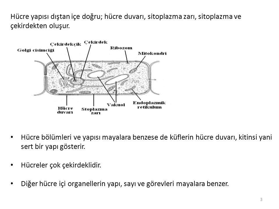 Hücre yapısı dıştan içe doğru; hücre duvarı, sitoplazma zarı, sitoplazma ve çekirdekten oluşur.