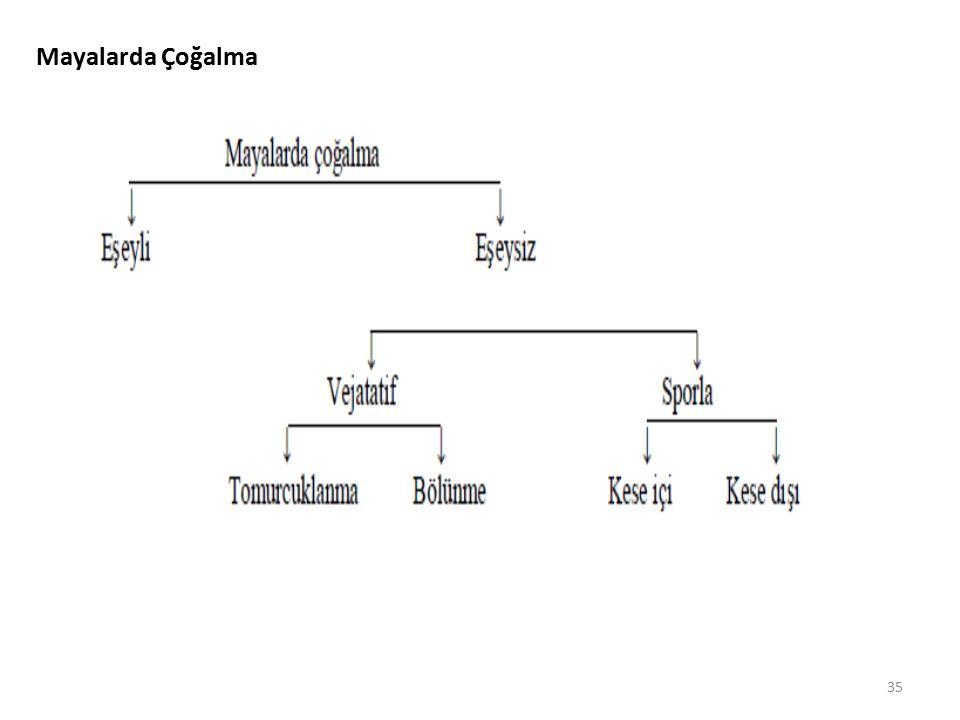 Mayalarda Çoğalma 35