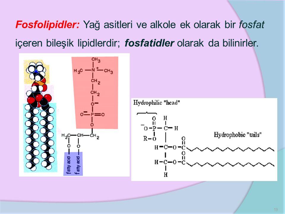 19 Fosfolipidler: Yağ asitleri ve alkole ek olarak bir fosfat içeren bileşik lipidlerdir; fosfatidler olarak da bilinirler.