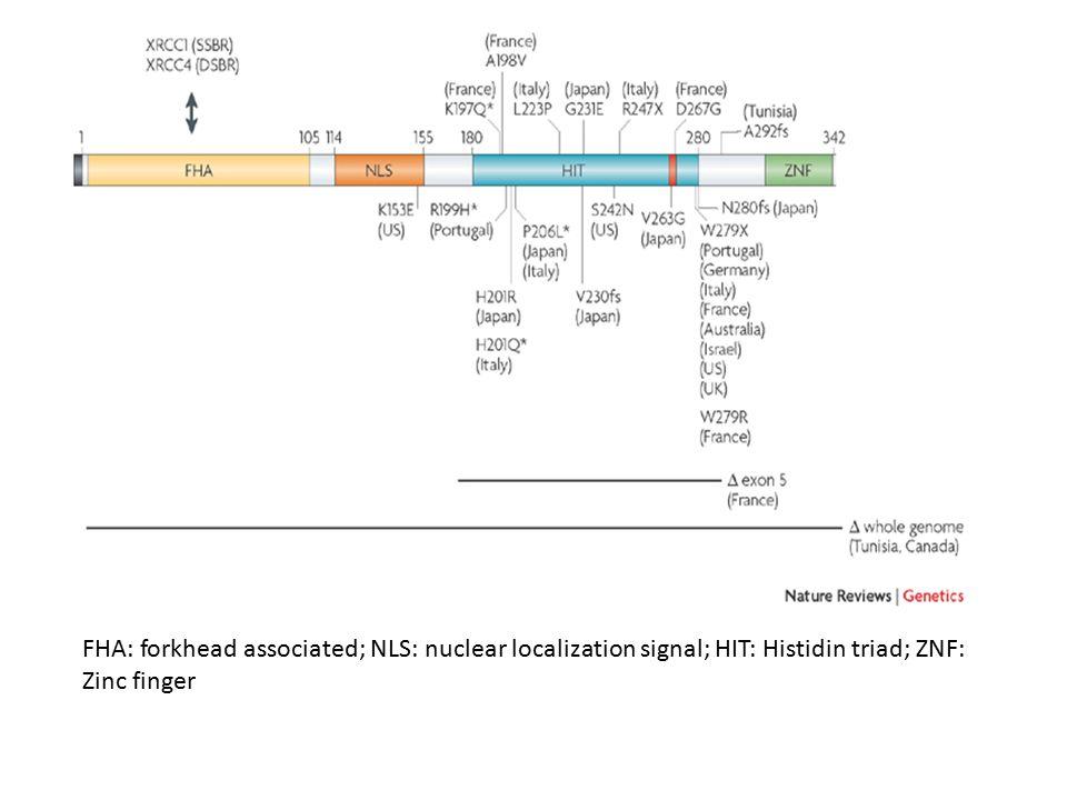 FHA: forkhead associated; NLS: nuclear localization signal; HIT: Histidin triad; ZNF: Zinc finger