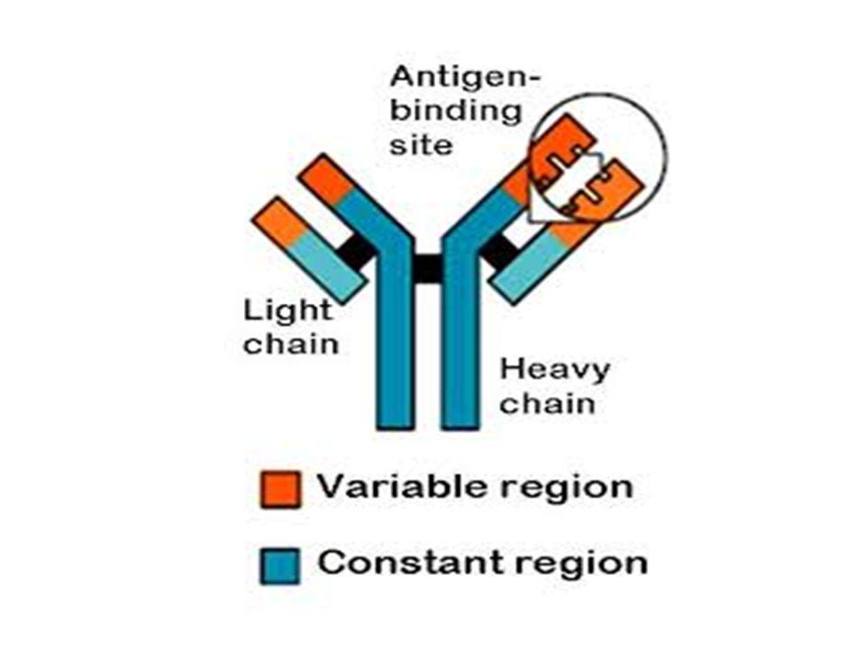 Bir antikor iki ağır zincir ve iki hafif zincirden yapılır.