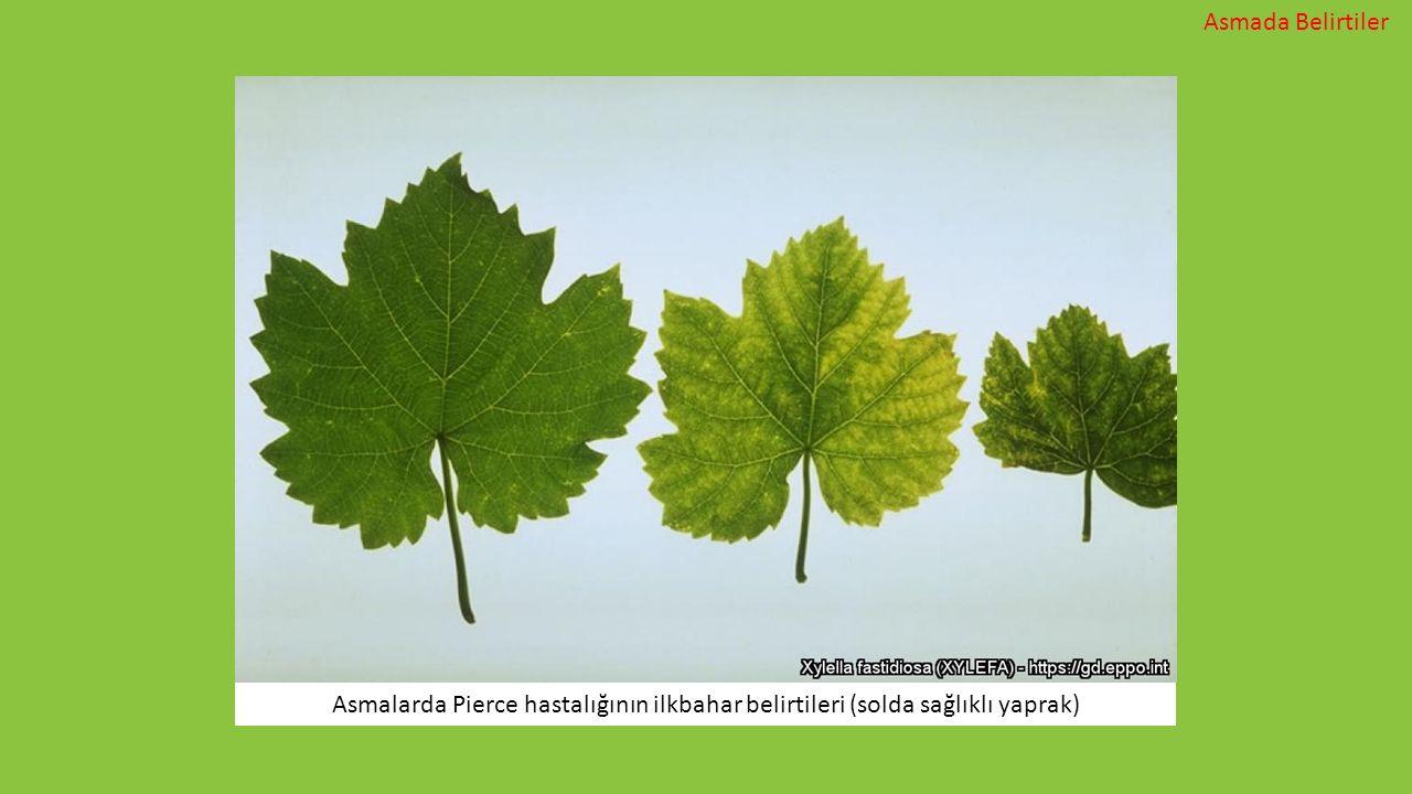 Asmalarda Pierce hastalığının ilkbahar belirtileri (solda sağlıklı yaprak) Asmada Belirtiler