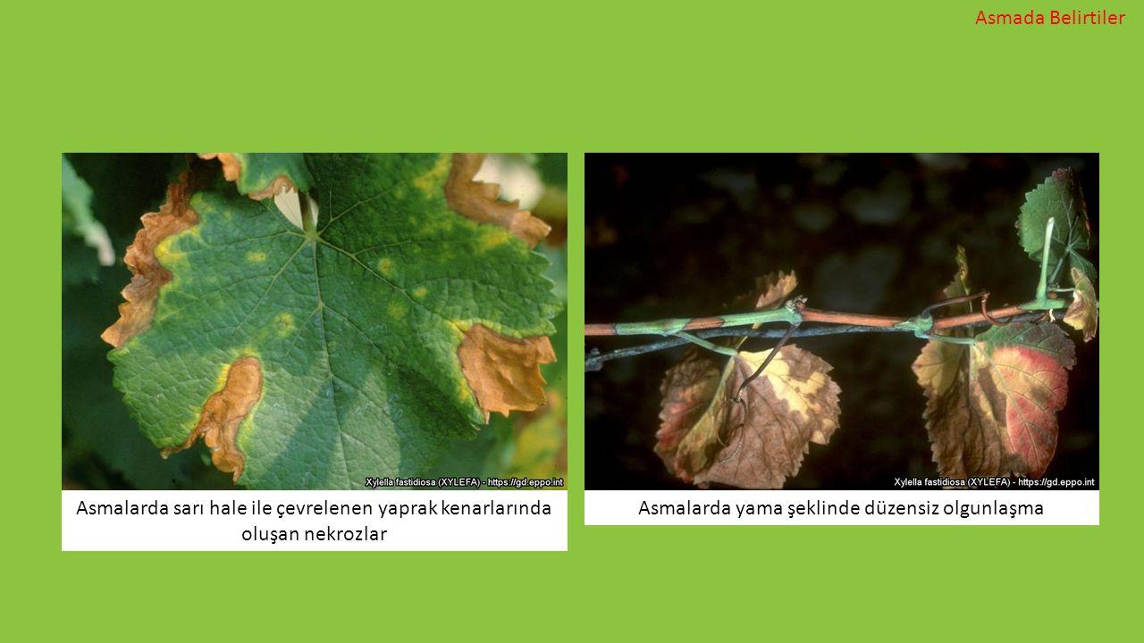 Asmalarda sarı hale ile çevrelenen yaprak kenarlarında oluşan nekrozlar Asmalarda yama şeklinde düzensiz olgunlaşma Asmada Belirtiler