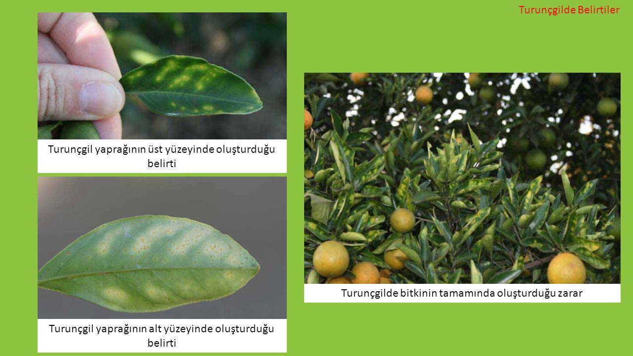Turunçgil yaprağının üst yüzeyinde oluşturduğu belirti Turunçgil yaprağının alt yüzeyinde oluşturduğu belirti Turunçgilde bitkinin tamamında oluşturdu