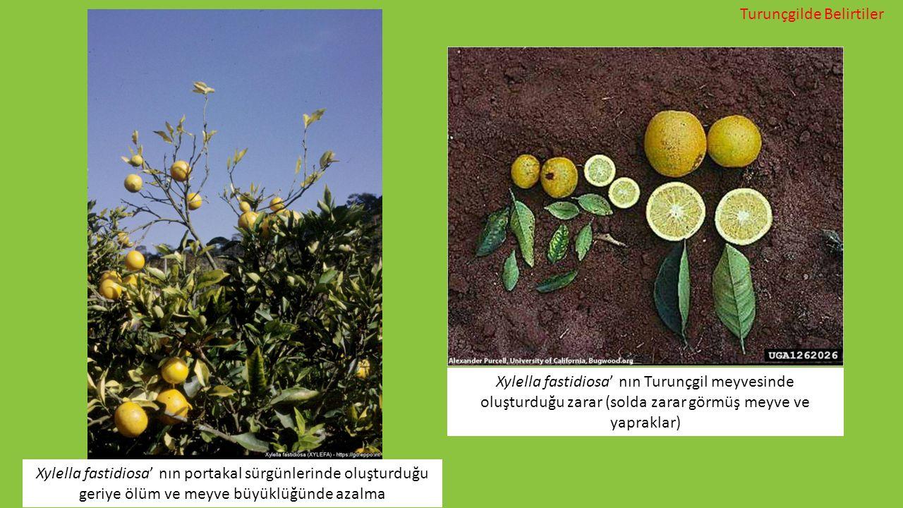 Xylella fastidiosa' nın portakal sürgünlerinde oluşturduğu geriye ölüm ve meyve büyüklüğünde azalma Xylella fastidiosa' nın Turunçgil meyvesinde oluşt