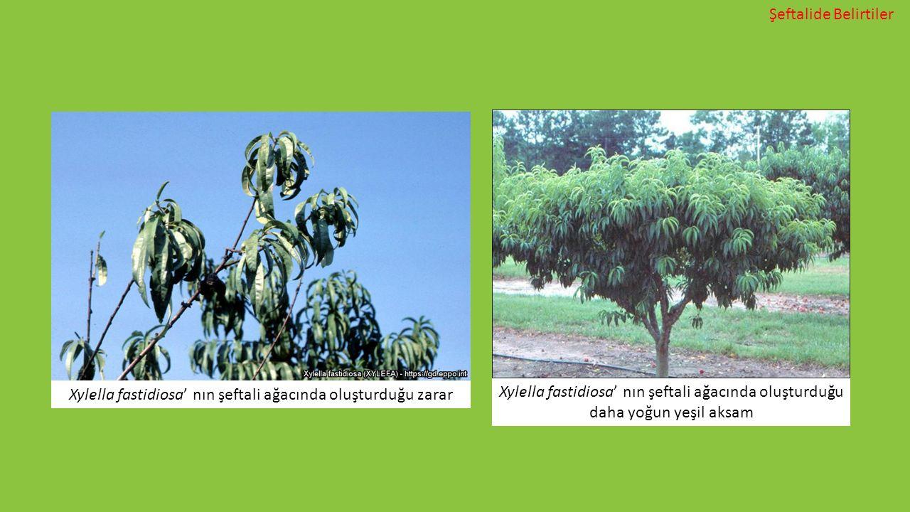 Xylella fastidiosa' nın şeftali ağacında oluşturduğu zarar Xylella fastidiosa' nın şeftali ağacında oluşturduğu daha yoğun yeşil aksam Şeftalide Belir