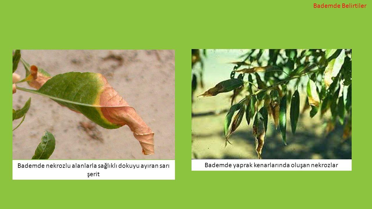 Bademde nekrozlu alanlarla sağlıklı dokuyu ayıran sarı şerit Bademde yaprak kenarlarında oluşan nekrozlar Bademde Belirtiler