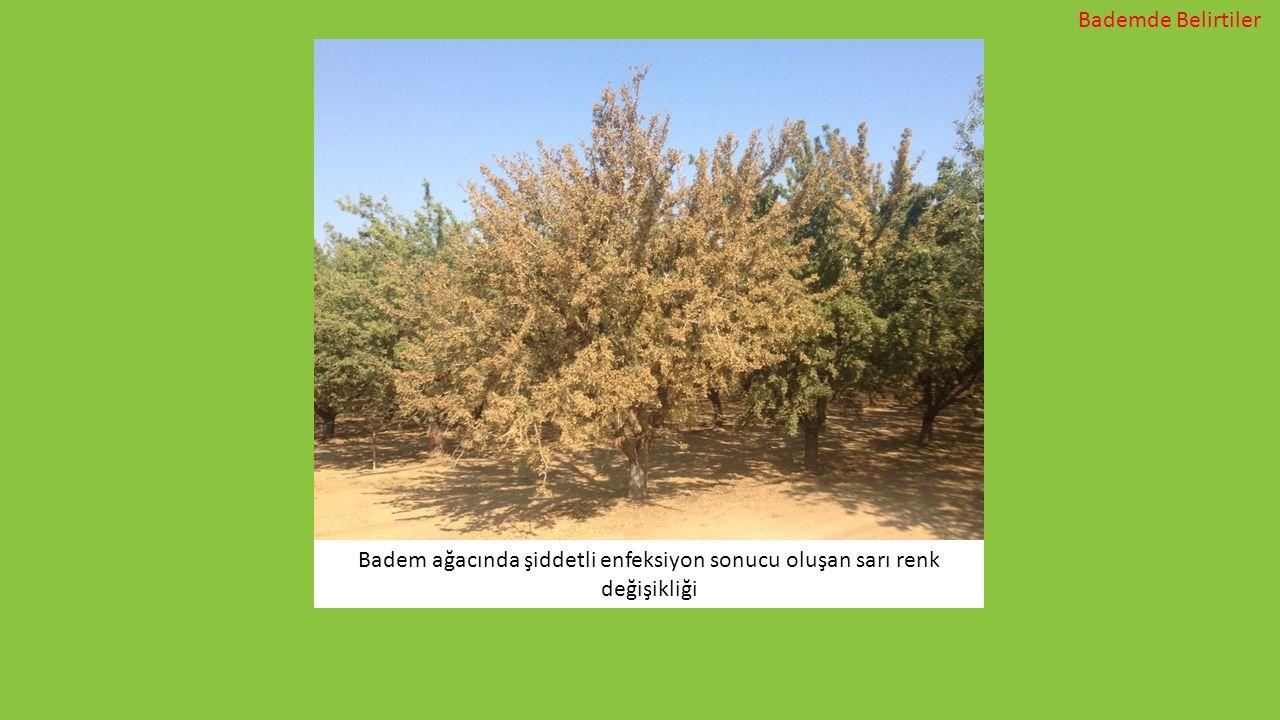 Badem ağacında şiddetli enfeksiyon sonucu oluşan sarı renk değişikliği Bademde Belirtiler