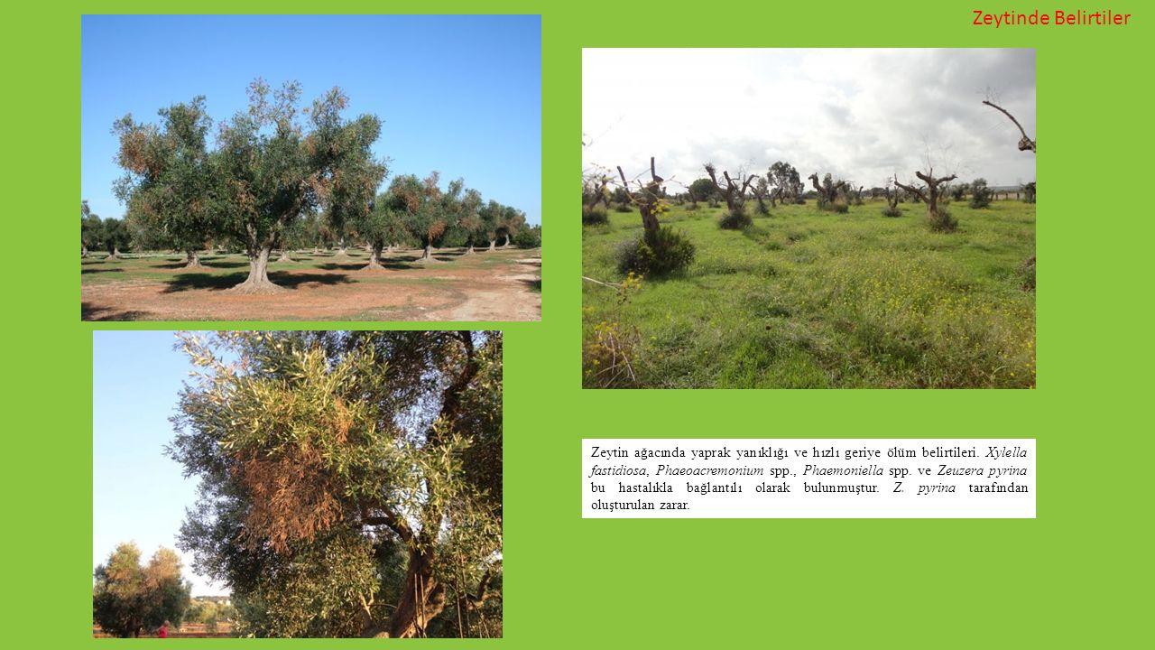 Zeytin ağacında yaprak yanıklığı ve hızlı geriye ölüm belirtileri. Xylella fastidiosa, Phaeoacremonium spp., Phaemoniella spp. ve Zeuzera pyrina bu ha